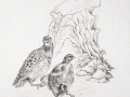 Partridge B&W by Janet-Ferrier Robinson
