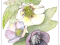 Christmas Roses by Jean Gray
